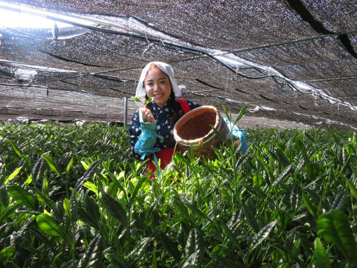 Experience Hand-Picking Green Tea Leaves